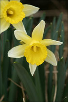 Narcissus minor © JlS