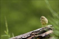 Bruant zizi femelle (Emberiza cirlus) © JLS