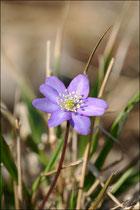 Hépatique ( Hepativa nobilis ) © JlS