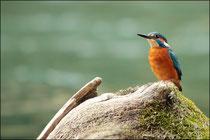 Martin pêcheur (Alcedo atthis) © JLS