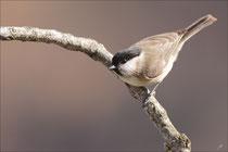 Mésange nonnette (Poecile palustris) © JLS