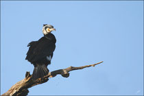 Grand Cormoran (Phalacrocorax carbo) - Plumage nuptial ©JlS
