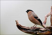 Bouvreuil pivoine femelle © JLS