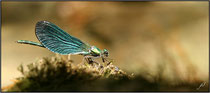 Caloptéryx vierge (Calopteryx virgo) - Pyrénées atlantiques - 64 ©JlS