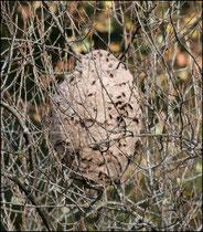 Nid de Frelons asiatiques (Vespa velutina nigrithorax) - Pyrénées atlantiques - 64 ©JlS