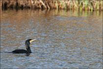 Grand Cormoran (Phalacrocorax carbo) ©JlS