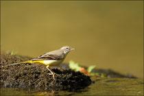 Bergeronnette des ruisseaux (Motacilla cinerea) © JLS