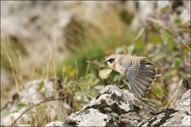 Traquet motteux mâle (Oenanthe oenanthe) © JLS