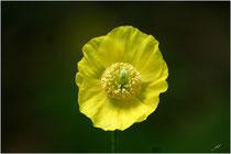 Pavot jaune (Meconopsis cambrica) - Pyrénées Atlantiques - 64 ©JlS