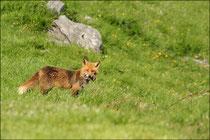 Renard roux (Vulpes vulpes) © JLS