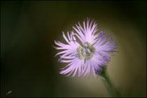 Oeillet mignardise ( Dianthus plumarius) - Pyrénées Atlantiques - 64 ©JlS