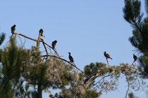 Grand Cormoran (Phalacrocorax carbo) - Dortoir ©JlS