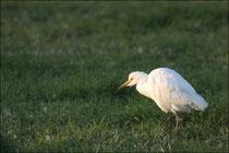Héron garde boeuf (Bubulcus ibis) © JLS
