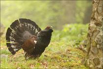 Grand tétras - Coq de bruyère  (Tetrao urogallus aquitanicus) © JLS