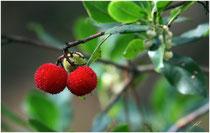 Arbouse (Arbutus unedo) - Cap Ferret - 33 ©JlS