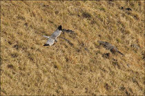 Busard cendré mâle (Circus pygargus) © JLS
