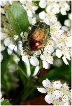 La Cétoine dorée (Cetonia aurata) - Gironde - 33 ©JlS