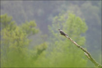 Coucou gris (Cuculus canorus) © JLS