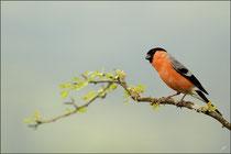 Bouvreuil pivoine mâle © JLS