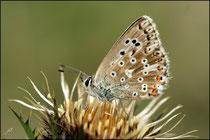 Argus bleu-nacré (Lysandra coridon) - Pyrénées atlantiques - 64 ©JlS