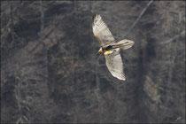 Gypaète barbu (Gypaetus barbatus) © JLS