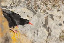 Crave à bec rouge (Pyrrhocorax pyrrhocorax) © JLS