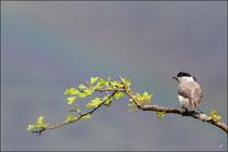Mésange nonnette ( Poecile palustris ) © JLS