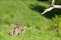 Chat forestier (Felis silvestris silvestris) © JLS