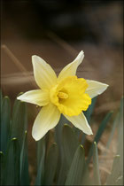 Narcissus minor© JlS