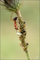 Camponotus lateralis et pucerons - Pyrénées atlantiques - 64 ©JlS