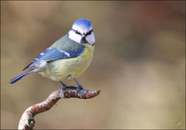 Mésange bleue (Cyanistes caeruleus) © JLS