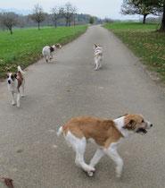 Hier sind vier Kromis dabei, alle Richtungen abzudecken... Vorne Anta vom Chirsgarten, die mal eine Runde rennt, Debby von Burg Lobenstein läuft zurück zu ihrem Frauchen und Wurzel und Tuba von der Holderheide laufen mal voraus...