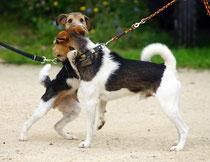 Amy-Lou begrüsst Asterix, zwei Chirsgarten Hunde...