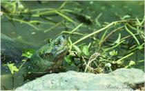 Wasserschildkröte aus Thailand