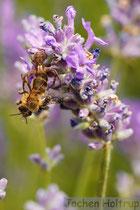 Spinne fängt Biene