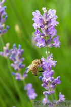 Biene im Lavendel
