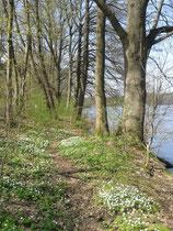 Blütenteppich - Anemonen am Summter See (Christiane Ziller)