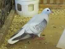 Thüringer Flügeltaube blau-weißgeschuppt