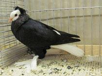 Thüringer Weißkopf schwarz