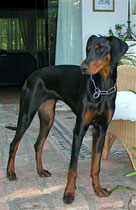 young doberman 1