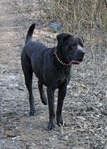 cane corso Aragon 2