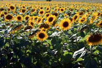 sun flowers 2