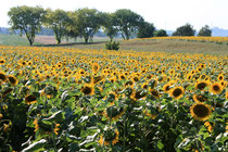sun flowers 1