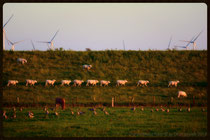 Wanderung der Schafe!!!