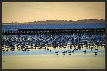 Naturschauspiel hunderter Vögel