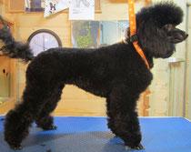 Toypudelhündin, 1 Jahr alt, nach dem Grooming. Ein wunderschöner Hund!