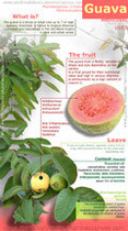 Guava benefits infographic