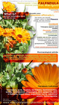 Pot marigold infographic