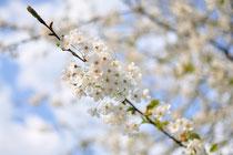 Obstblüte im Münsterland