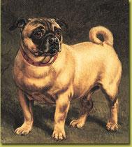Mops um 1900          Quelle:Wikipedia